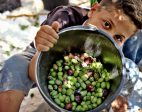 IN PICTURES: Olive harvest in Gaza