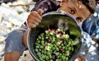 IN PICTURES: Olive harvest in Gaza
