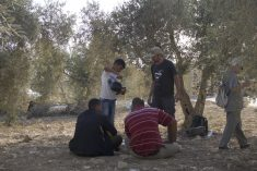 IN PICTURES: Jewish-Israelis assisting Palestinians during olive harvest in the West Bank